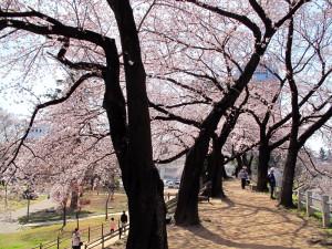 桜並木を歩ける幸せ♪